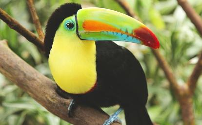 コスタリカの乾燥熱帯林に生息する野鳥オオハシ